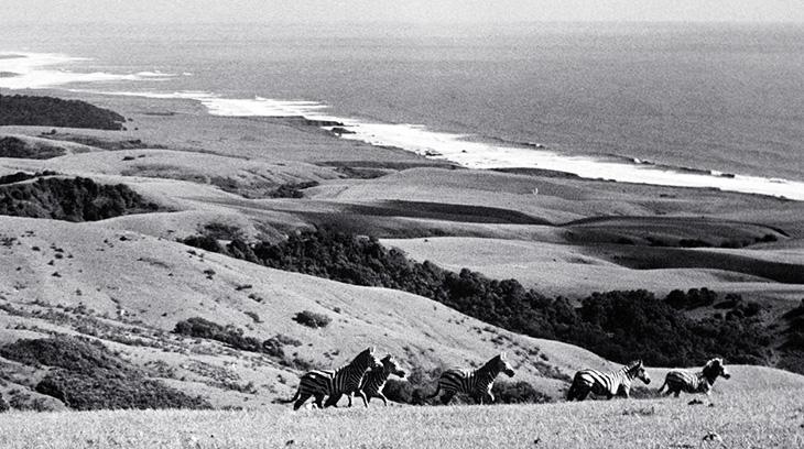 zebras, hearst castle, hearst ranch, san simeon, california, pacific coast