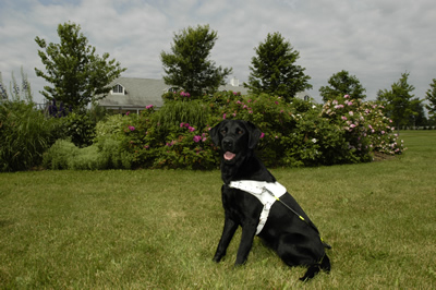 guide dog in harness, guide dogs, vision problems, mobility problems, dog guides, guide dogs for the blind, canadian guide dogs for the blind, cgdb, igdf, international guide dog foundation, assistance dogs, service dogs
