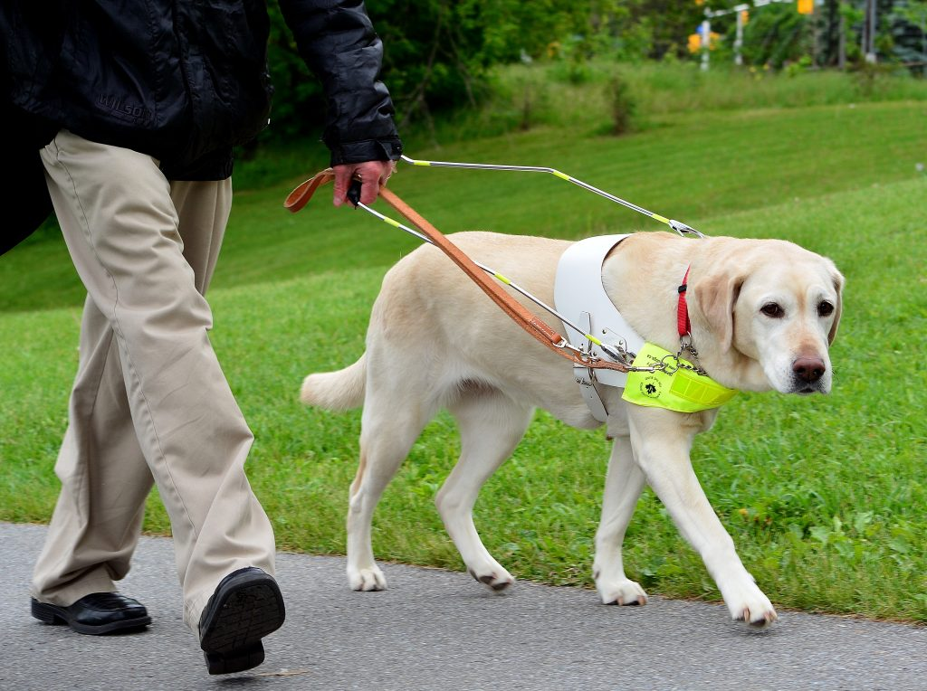 guide dog in harness, working guide dog, guide dogs, vision problems, mobility problems, dog guides, guide dogs for the blind, canadian guide dogs for the blind, cgdb, igdf, international guide dog foundation, assistance dogs, service dogs