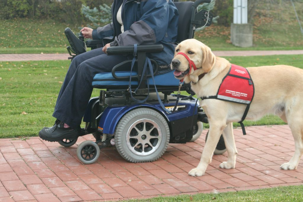 assistance dog working, guide dog in harness, guide dogs, vision problems, mobility problems, dog guides, guide dogs for the blind, canadian guide dogs for the blind, cgdb, igdf, international guide dog foundation, assistance dogs, service dogs, guide dog in harness