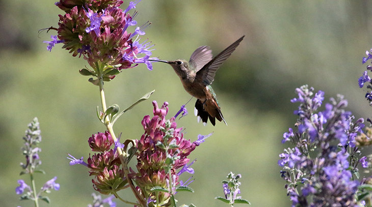 hummingbird, wild birds, bird food, purple flowers, sage, gardens, attract birds, tubular perennials, flower beds,