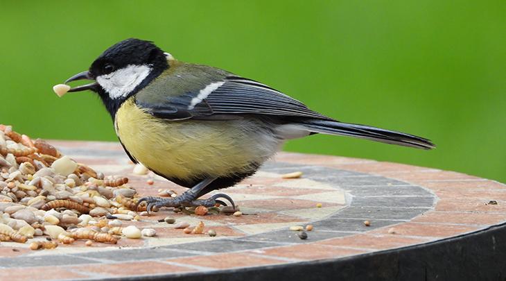 platform bird feeder, bird seed, great tit,