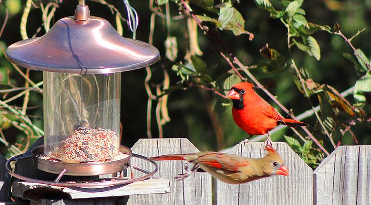 tube bird feeders, tube shaped bird feeders, bird house feeder, wild birds, female birds, male birds, cardinals,
