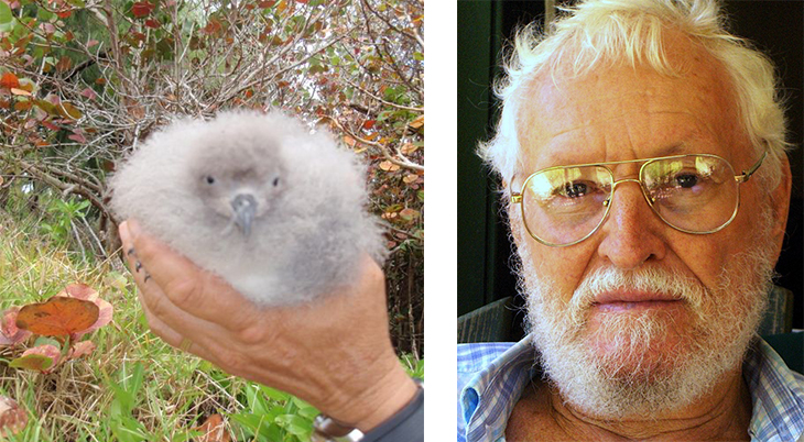 david b wingate, ornithologist, bermuda petrel, pterodroma, cahow, baby bird, chick