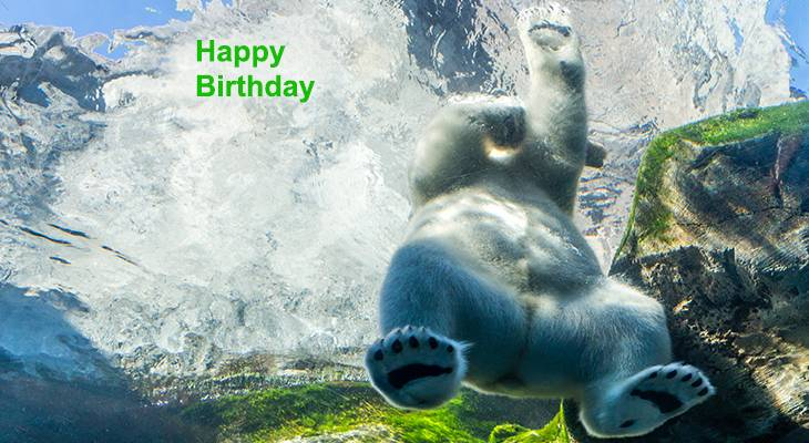happy birthday wishes, birthday cards, birthday card pictures, famous birthdays, polar bear, wild animals, manitoba zoo, swimming, funny