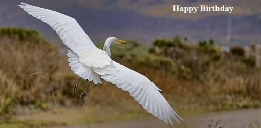happy birthday wishes, birthday cards, birthday card pictures, famous birthdays, white bird, heron, wild birds, flying, nature
