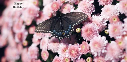happy birthday wishes, birthday cards, birthday card pictures, famous birthdays, black butterfly, pink mums, nature scenery, flowers, butterflies