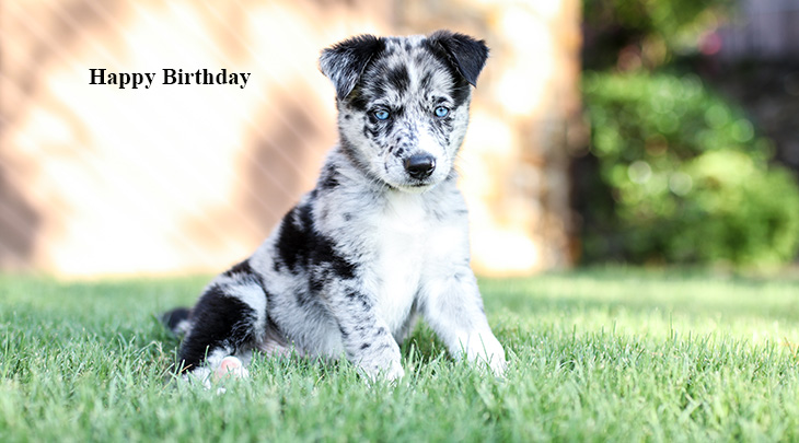 happy birthday wishes, birthday cards, birthday card pictures, famous birthdays, animals, dogs, blue merle puppy, shepherd, collie
