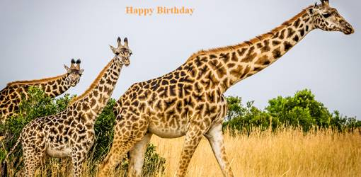 happy birthday wishes, birthday cards, birthday card pictures, famous birthdays, wild animals, giraffes, maasai mara national reserve, kenya africa, nature scenery