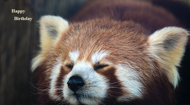 happy birthday wishes, birthday cards, birthday card pictures, famous birthdays, wild animals, red panda, zoo pandas