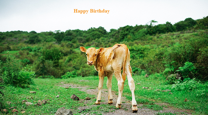 happy birthday wishes, birthday cards, birthday card pictures, famous birthdays, baby animals, brown calf, baby cows, nature scenery