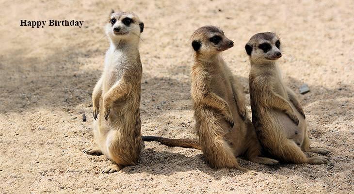 happy birthday wishes, birthday cards, birthday card pictures, famous birthdays,meerkats, wild animals, czech zoo, funny animals