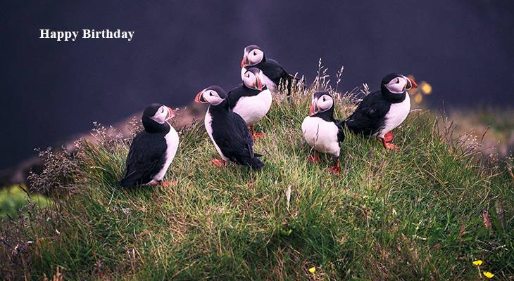 happy birthday wishes, birthday cards, birthday card pictures, famous birthdays, iceland wild birds, puffins, dyrholaey lighthouse,