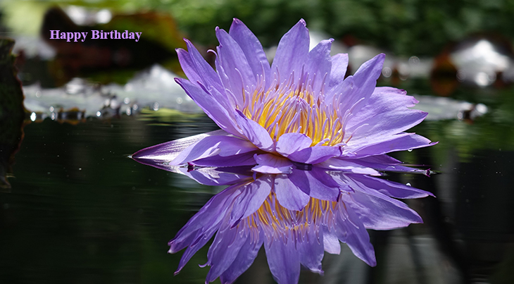 happy birthday wishes, birthday cards, birthday card pictures, famous birthdays, purple waterlily, purple flowers, waterlilies