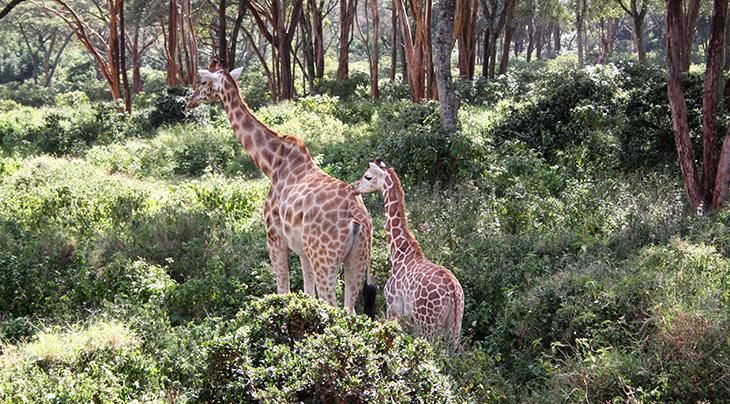 giraffe santuary centre, rothschilds giraffes sanctuary, kenya africa, jock leslie melville giraffe centre, african conservation education programs,
