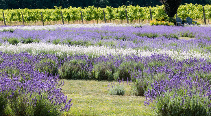 bonnieheath estate lavender and winery, lavenderfest, lavender fields, waterford ontario attractions, things to do near waterford ontario, southern ontario places to see, traveling with grandchildren, southern ontario travel, purple flowers, dried flowers, southern ontario lavender farms, southern ontario grape vineyards, southern ontario wineries, best southern ontario things to see, jacqueline baker photographer, memories through lens photography