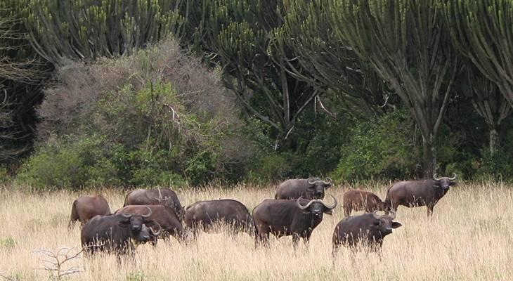 cape buffalo herd, african buffalo, soysambu conservancy, kenya africa, wild animals