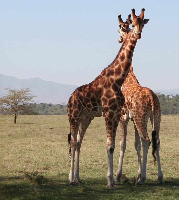 rothschilds giraffes, soysambu conservancy, kenya africa, african wild animals