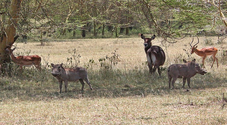 african warthogs, african gazelle, african waterbuck, soysambu conservancy, kenya africa, african wild animals