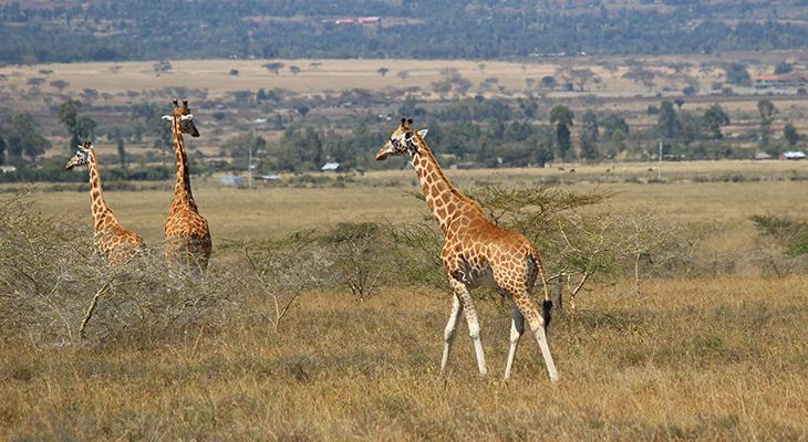 rothschilds giraffes, soysambu conservancy, kenya africa, african wild animals, young wild giraffes