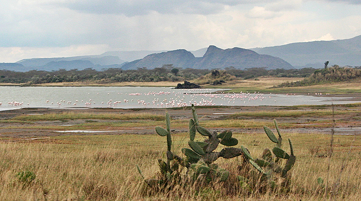 african cactus, african pink flamingos, birds, nature scenery, lake elmentaita, sleeping warrior rock formation, ancient sleeping masai warrior legend, kenya africa, soysambu conservancy,