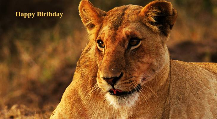 happy birthday wishes, birthday cards, birthday card pictures, famous birthdays, lioness, wild animals, african lions, big cats