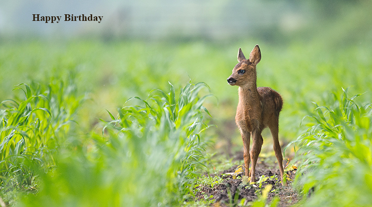 happy birthday wishes, birthday cards, birthday card pictures, famous birthdays, netherlands deer, fawn, wild animals, nature scenery