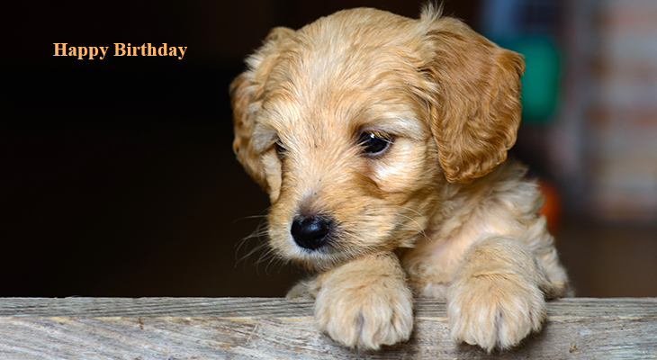 happy birthday wishes, birthday cards, birthday card pictures, famous birthdays, golden puppy, dogs, puppies, animals
