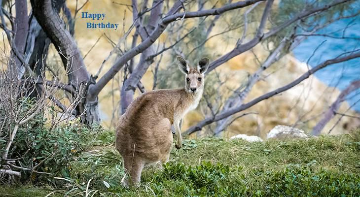 happy birthday wishes, birthday cards, birthday card pictures, famous birthdays, wild animals, kangaroo, stradbroke island, australian animals, nature scenery
