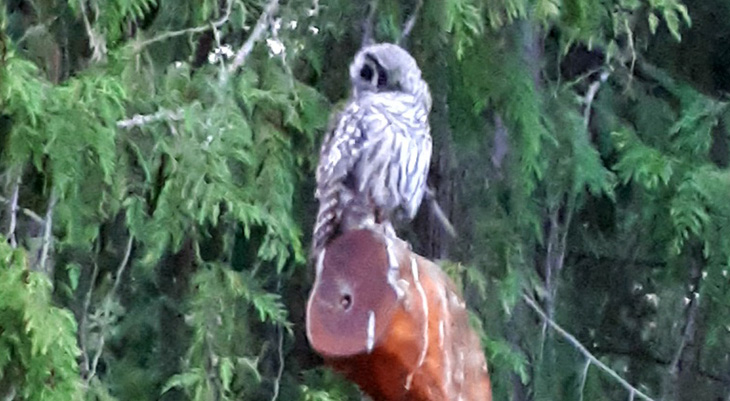 screech owl, wild birds, scotch creek birds, british columbia wild birds, scotch creek bc things to see, british columbia travel destinations, 50 plus travel destinations, shushwap lake provincial park, british columbia foothills, cathy clark travel writer