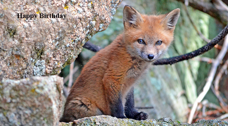 happy birthday wishes, birthday cards, birthday card pictures, famous birthdays, red fox cub, wild animals, cute baby animals