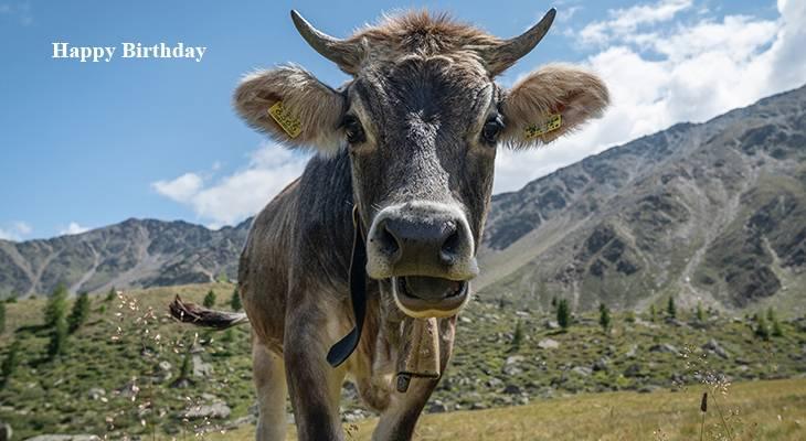 happy birthday wishes, birthday cards, birthday card pictures, famous birthdays, brown cow, animals