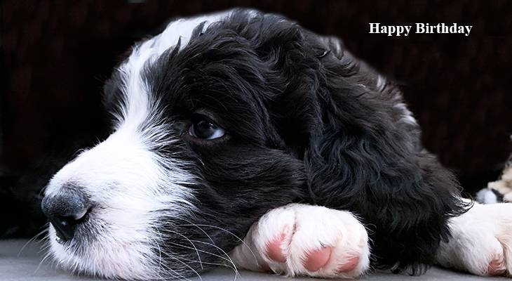 happy birthday wishes, birthday cards, birthday card pictures, famous birthdays,puppy, bernese mountain dog, sheepadoodle