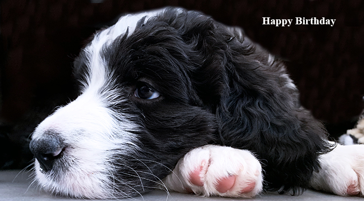 happy birthday wishes, birthday cards, birthday card pictures, famous birthdays, puppy, bernese mountain dog, sheepadoodle