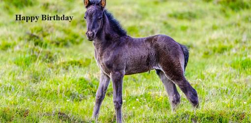 happy birthday wishes, birthday cards, birthday card pictures, famous birthdays, black horse, foal, colt, baby animals