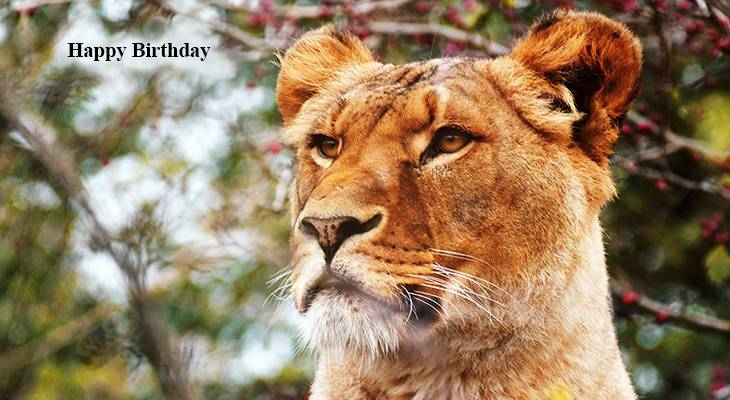 happy birthday wishes, birthday cards, birthday card pictures, famous birthdays, lioness, african wild animals, big cats