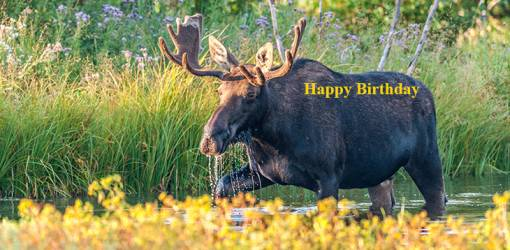 happy birthday wishes, birthday cards, birthday card pictures, famous birthdays, bull moose, wild animals, grand teton national park