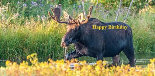 happy birthday wishes, birthday cards, birthday card pictures, famous birthdays, bull moose, wild animals, grand teton national park