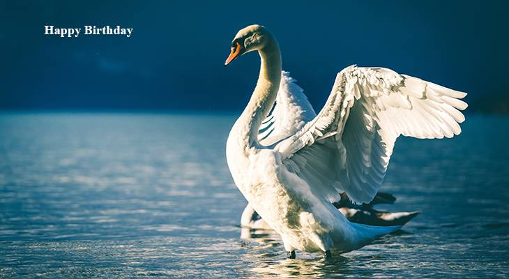happy birthday wishes, birthday cards, birthday card pictures, famous birthdays, white birds, swan, nature scenery