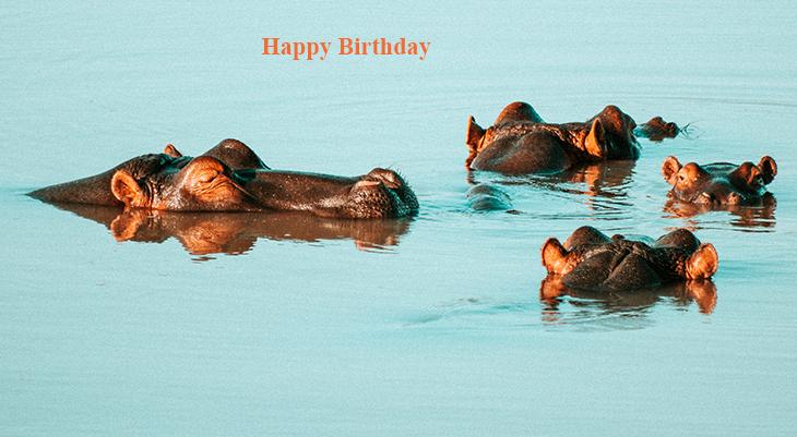 happy birthday wishes, birthday cards, birthday card pictures, famous birthdays, hippos, hippopotamus, wild animals, african animals