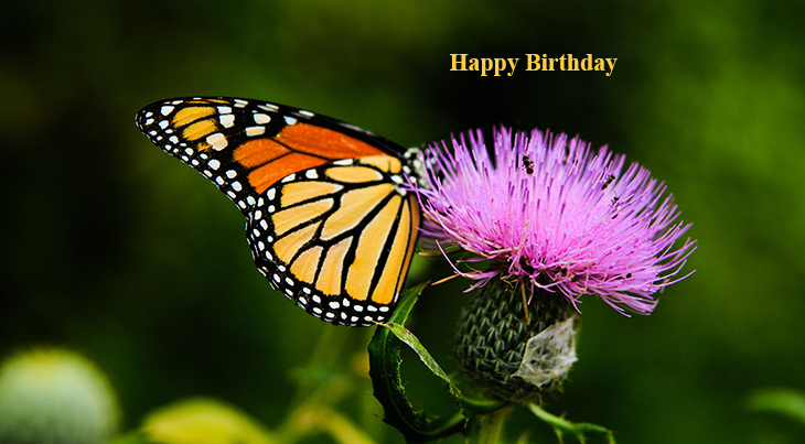 happy birthday wishes, birthday cards, birthday card pictures, famous birthdays, monarch butterfly, purple thistle, purple flowers, orange butterflies