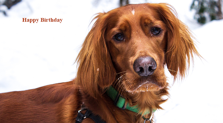 happy birthday wishes, birthday cards, birthday card pictures, famous birthdays, red dog, irish setter, animals, winter, snow