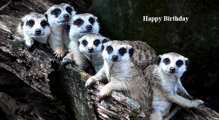 happy birthday wishes, birthday cards, birthday card pictures, famous birthdays, meerkats, wild animals, desert animals