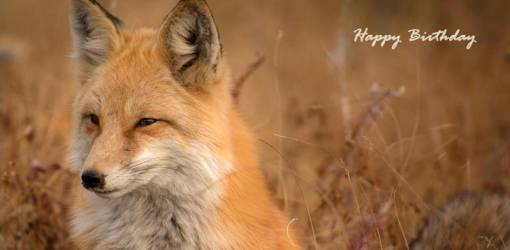 happy birthday wishes, birthday cards, birthday card pictures, famous birthdays, red fox, wild animals, nature scenery