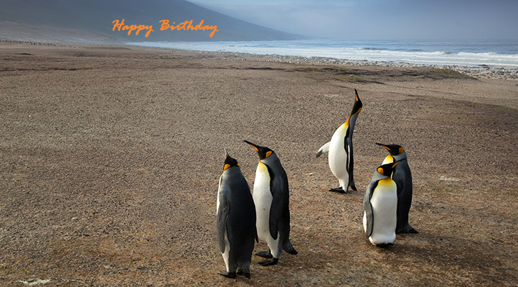 happy birthday wishes, birthday cards, birthday card pictures, famous birthdays, wild birds, king penguins, falkland islands, nature scenery