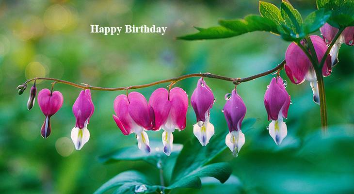happy birthday wishes, birthday cards, birthday card pictures, famous birthdays, pink flowers, bleeding hearts, perennials