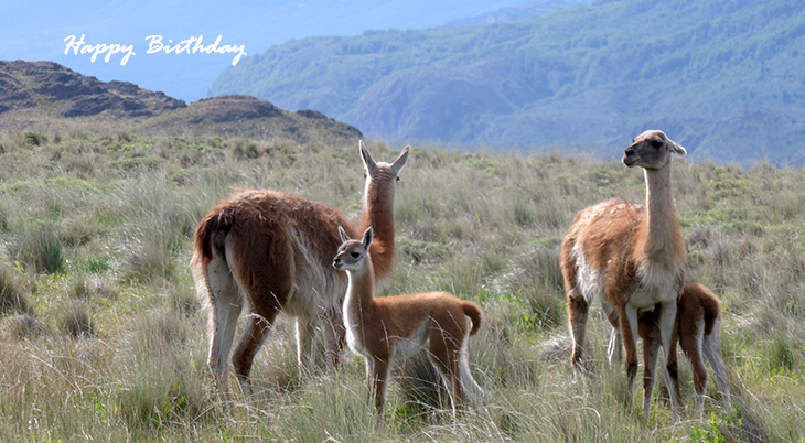 happy birthday wishes, birthday cards, birthday card pictures, famous birthdays, llamas, alpacas, chile, peru, wild animals