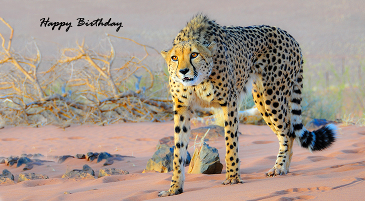 happy birthday wishes, birthday cards, birthday card pictures, famous birthdays, cheetah, african cats, big cats, wild animals
