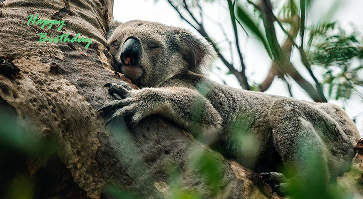 happy birthday wishes, birthday cards, birthday card pictures, famous birthdays, koala bear, wild animals, baby animals, australian animals