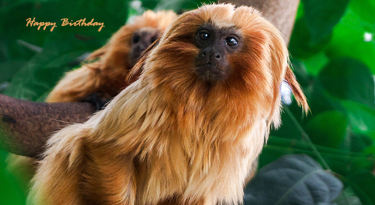 happy birthday wishes, birthday cards, birthday card pictures, famous birthdays, golden lion tamarin monkey, gold coloured monkey, wild animals